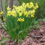 Pacific Spirit Regional Park daffodils