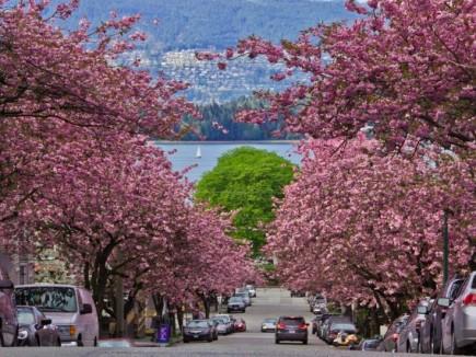 kitsilano cherry blossoms